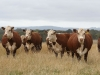 Warringa Herefords