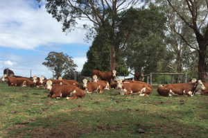 Warringa Herefords move to East Gippsland