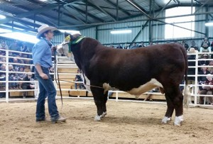 Warringa Lawman L21 (P) sells at Wodonga for $7000 to Lowanna Park Herefords