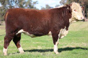 Warringa Rumpole R206 (AI) (PP) - Herefords Australia Super Sire